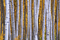 Intimate scene of aspen forest in fall by Danita Delimont