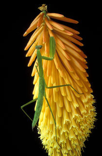 Praying Mantis on Red Hot Poker Plant (Mantis religiosa) by Danita Delimont