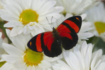 Callicore cynosura the Crimson Butterfly by Danita Delimont