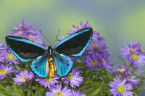Ornithoptera priamus caelestis the Birdwing Butterfly by Danita Delimont