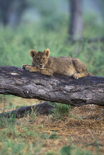Lion cub (Panthera leo) sits on tree branch after rainstorm along Khwai River von Danita Delimont