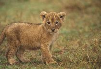 Lion Cub (Panthera Leo) by Danita Delimont