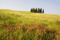 Grouping of Tuscan Cypress Trees In Wheat Field With Fresh Spring Flowers by Danita Delimont