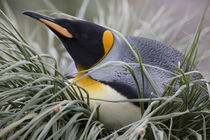 King Penguin (Aptenodytes patagonicus) resting on nest in tussock grass in crowded rookery at Salisbury Plains by Danita Delimont