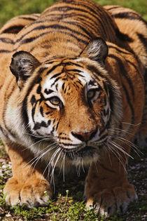 Panthera tigris by Danita Delimont