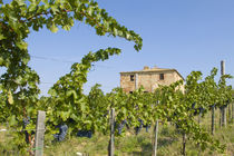 Wine grapes ready for harvest outside an abandoned villa by Danita Delimont