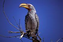 Yellow-billed Hornbill (Tockus leucumelias) by Danita Delimont