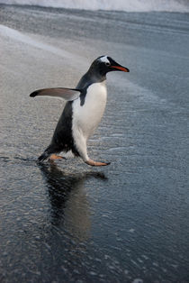 Gentoo penguin on beach (Pygoscelis papua) by Danita Delimont