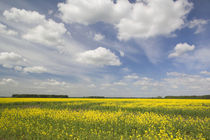 Field of mustard flowers in springtime by Danita Delimont