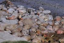 Walruses (Odobanus rosmarus divergens) von Danita Delimont