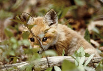 Young red fox peers over log by Danita Delimont