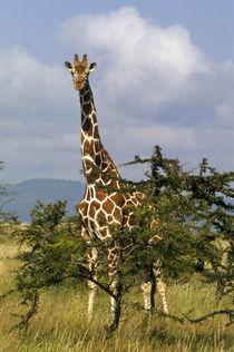 Reticulated giraffe (Giraffa camelopardalis reticulata) von Danita Delimont