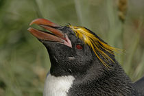 Profile of macaroni penguin head von Danita Delimont