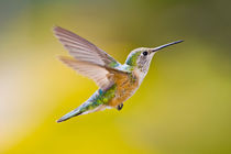 Side view close-up of female rufous hummingbird in flight by Danita Delimont