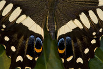 Washington Tropical Butterfly Photograph of Papilio ophidicephalus the Emperor Swallowtail from Africa on Orchid by Danita Delimont