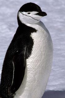 Chinstrap penguin von Danita Delimont