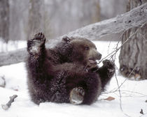 Juvenile grizzly plays with tree branch in winter von Danita Delimont