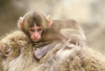 (Macaca fuscata) (NOT AVAILABLE FOR EUROPEAN CLIENTS) by Danita Delimont