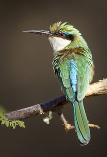 Somali bee-eater bird on limb by Danita Delimont