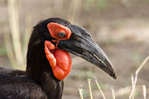 Southern Ground Hornbill (Bucorvus leadbeateri) by Danita Delimont