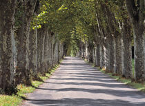Trees line this road near Cereste in Provence in southern France by Danita Delimont