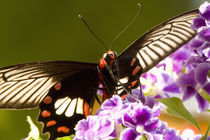 Papilio polytes romulus by Danita Delimont