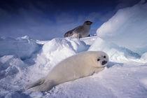 Harp seal (Phoca groenlandica) by Danita Delimont