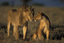 Mating pair of Lion and Lioness (Panthera leo) together in morning sun von Danita Delimont
