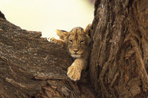 Lion cub in tree (Panthera leo) by Danita Delimont