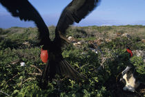 Magnificent Frigatebird (Fregata magnificens) in nesting area on North Seymour Island von Danita Delimont