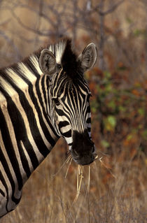 Kruger NP Zebra portrait by Danita Delimont