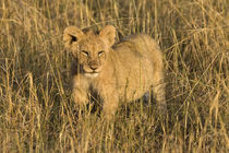 A lion cub laying in the bush in the Maasai Mara Kenya von Danita Delimont