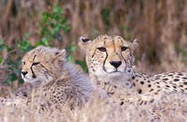 Cheetahs (Acinonyx jubatus) von Danita Delimont
