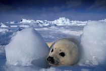 Harp seal (Phoca groenlandica) von Danita Delimont