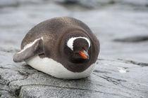 Gentoo penguin (wild: Pygoscelis papua) by Danita Delimont