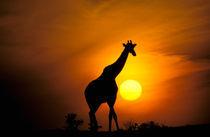 Giraffe (Giraffe camelopardoalis) von Danita Delimont