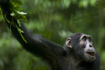 Portrait of adult Chimpanzee (Pan troglodytes) resting in rainforest clearing by Danita Delimont
