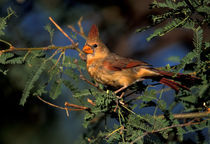 Northern cardinal (female) by Danita Delimont