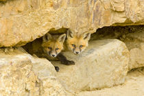 Curious red fox kits peer out from rock haven by Danita Delimont