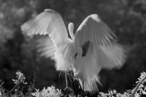 Great Egret (Ardea alba) infrared image by Danita Delimont