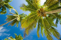 Palm trees on the tropical island of Aitutaki in the Cook Islands by Danita Delimont