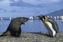 King Penguins (Aptenodytes patagonicus) & Antarctic Fur Seal (Arctocephalus gazella) by Danita Delimont