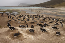 Hese penguins are resident and breed in the Falklands von Danita Delimont