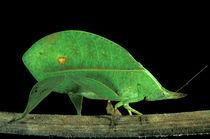 Family Tettigoniidae by Danita Delimont