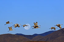 Sandhill cranes (Grus canadensis) flying past a setting full moon by Danita Delimont