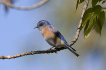 USA - California - San Diego County - male Western Bluebird by Danita Delimont