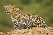 African Leopard (Panthera pardus) von Danita Delimont