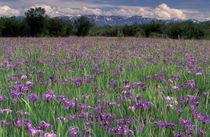 Iris flowers (Iris setosa) von Danita Delimont
