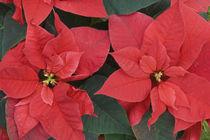 Red Poinsettia Detail (Euphorbia pulcherrima) von Danita Delimont