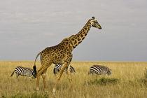 Maasai Giraffes roaming across the Maasai Mara Kenya by Danita Delimont